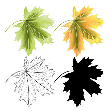 Four Colored leaves Maple  the red green natural outline and silhouette  vintage vector botanical illustration editable hand draw Иллюстрация