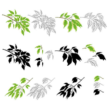 Tropical plant Ficus benjamina Variegated Ficus  branches natural and silhouette  and outline set on a white background vintage vector illustration  editable hand draw