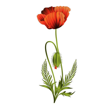 Wildflowers  red poppies flowers with bud flowering  bouquet watercolor vintage vector illustration editable hand drawn