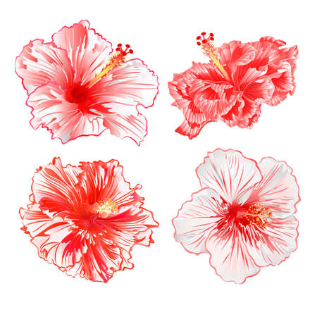 Tropical plants hibiscus red and white  flowers  on a white background  set watercolor vintage vector illustration editable hand draw natural Vectores