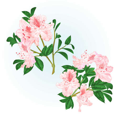 Shrub light pink rhododendrons twigs with flowers and leaves watercolor  vintage hand draw vector illustration