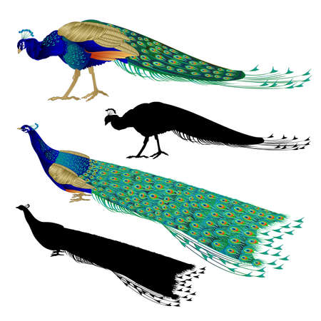 Nature and silhouette tropical birds beauty Peacocks set  on a white background watercolor vintage vector illustration editable hand drawn