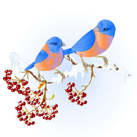 Birds  thrush Bluebirds small songbirdons on on snowy tree winter background vintage vector illustration editable hand draw