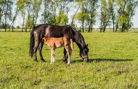 chestnut male: Mother horse and foal in a field cub.