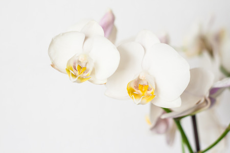 orchid branch: Phalaenopsis orchid branch white on a white background. Stock Photo