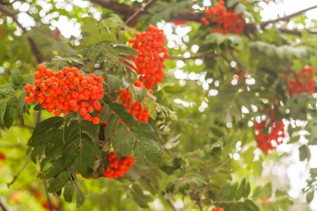 bunches of rowan on the tree
