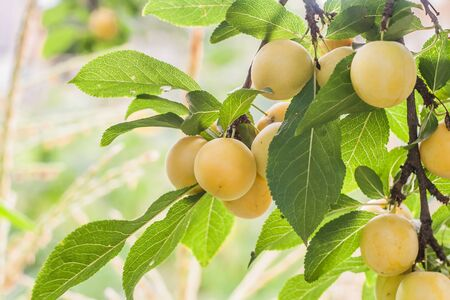 myrobalan: lot of yellow cherry plum on a branch on a sunny summer day.