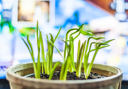 green young sprouts in a pot. Stock Photo