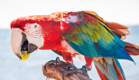 chordates: macaw parrot eating a grape.
