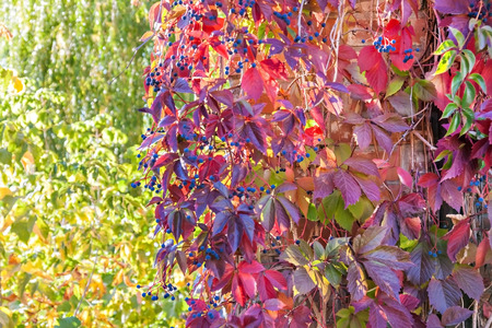 thick red ivy in autumn sunlight.