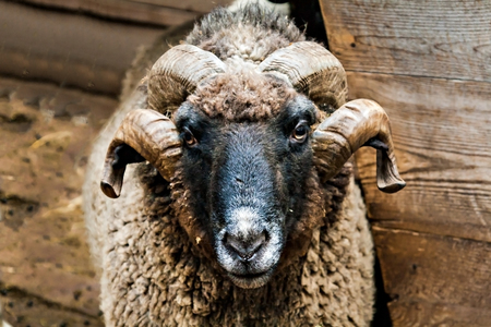 living organism: rams head with large horns close up.