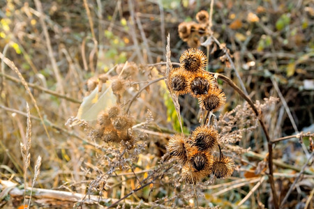 spines thistle in the morning sunlight autumn. Stock Photo
