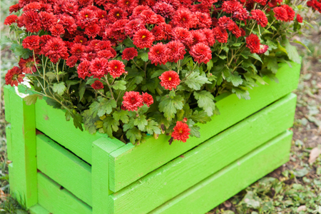 red chrysanthemum in green wooden crate in the garden.
