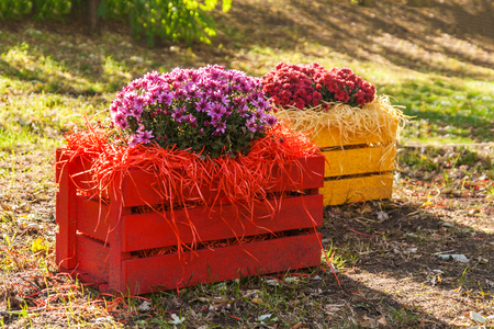 Fresh chrysanthemums in a colorful wooden box in the garden.