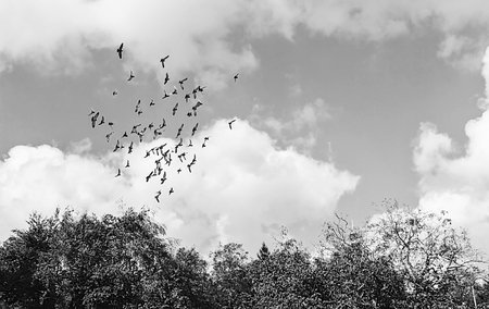 flock of birds in the sky in black and white.