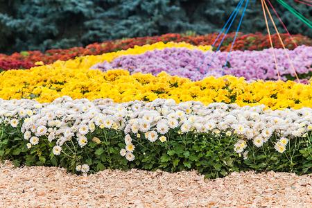 Autumn Chrysanthemum Exhibition in Kiev, Ukraine, 2016. Stock Photo