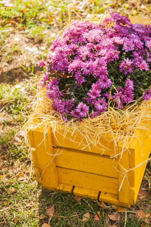 purple chrysanthemums in yellow wooden box effect .