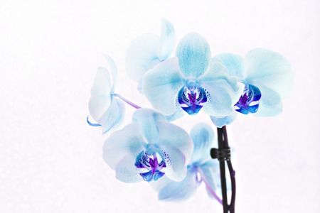 bouquet of blue orchids phalaenopsis on white background. Stock Photo