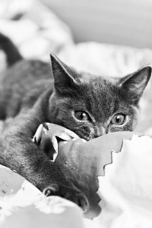 moggy: gray kitten ready to pounce black and white. Stock Photo