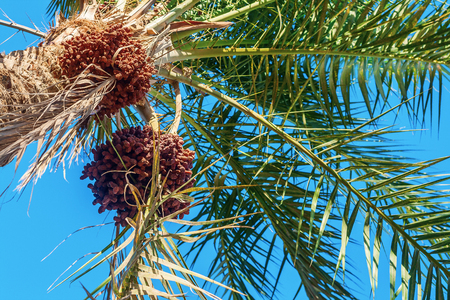 Dates on a palm tree against the blue sky, close-up.