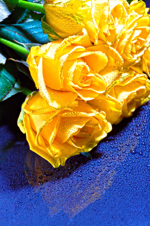 a bouquet of yellow roses with drops on a blue background.
