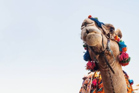 Head of the camel with open eyes, close-up, portrait, Egypt. Stock Photo