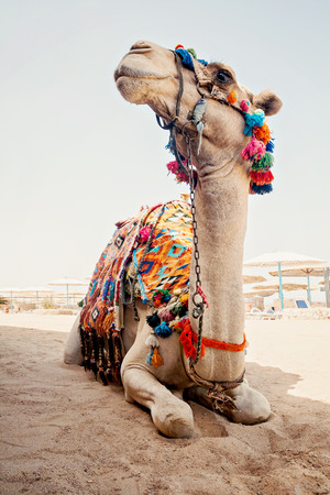 camel for tourist trips is in the sand on the beach in Egypt. Stock Photo
