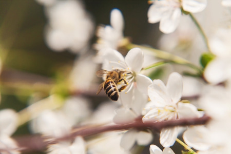 The bee sits on the white flowers of the cherry tree close up stock photo the bee sits on the white flowers of the cherry tree close up beautiful romantic blur mightylinksfo