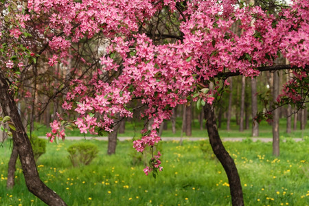 Pink beautiful tree flowers paradise apple tree on a background of juicy spring green grass.