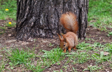 sitting on the ground: Red-haired furry squirrel jumping in green bright grass and looking for food.