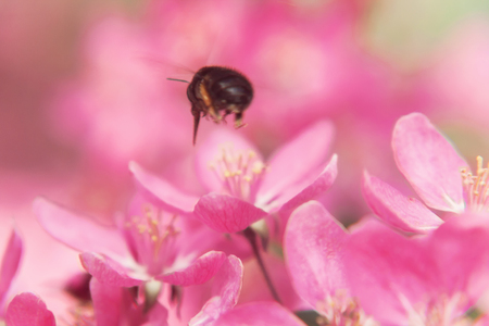 Bee collects pollen on Pink beautiful tree flowers paradise apple tree close-up in a gentle blur.