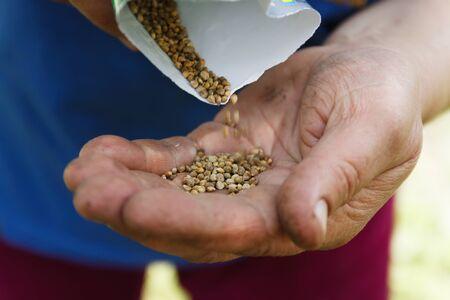 Female hand planting white bean seeds in soil, closeup. Stock Photo