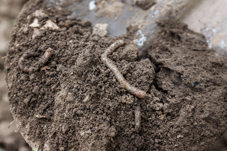Earthworms in a dug out hole in the garden, on a shovel in the ground. Banque d'images