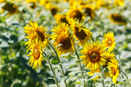 sunflower field over cloudy blue sky and bright sun lights. Stock Photo