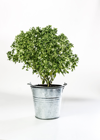 dwarf bonsai basil in zinc bucket isolated on white background.