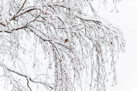 Branches of a birch under a thick layer of snow, close-up.