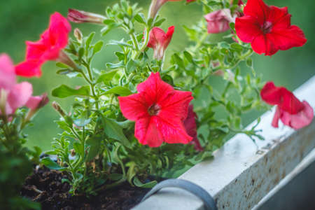 Bright pink petunia flowers in pots on the balcony