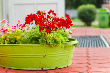 The decoration outside the house, pink and red geraniums in a metal green basin-vase.