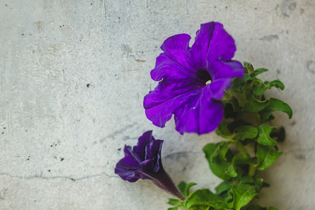 Bright blue, purple, pink petunia flowers in pots on the balcony