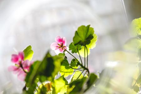 Pink geranium pelargonium flowers on a light background in creative blur.