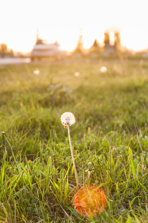 Landscape, one white dandelion in the evening beautiful back magic light.