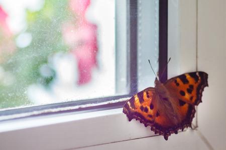 Orange butterfly swallow sits on the window.