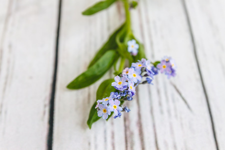 On a light white wooden background there is a blue flower forget-me-flower. Blur and close-up 写真素材