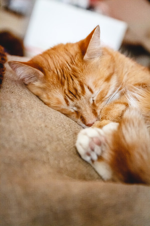 Beautiful red cat sleeping, close-up. Concept. healthy restful sleep and life.