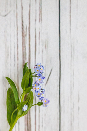 On a light white wooden background there is a blue flower forget-me-flower. Blur and close-up 版權商用圖片