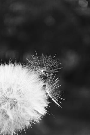 Ein weißer Löwenzahn streut, Nahaufnahme auf dunklem Hintergrund. Makro. Schwarzweiß, einfarbig.