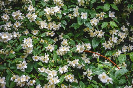 close up blooming jasmine flower on bush in garden, selected focus Banco de Imagens