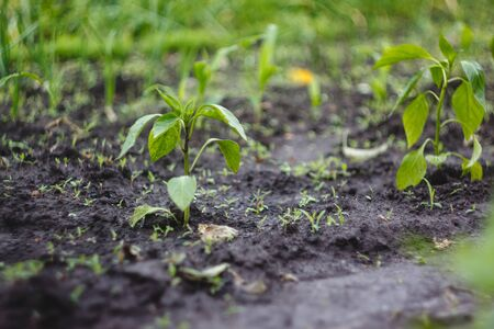 Young seedlings planted in the garden in even rows. Stock Photo - 124922939