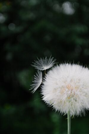 One White dandelion scatters, close-up on a dark background. Macro. Imagens