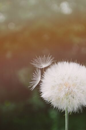 One white dandelion scatters, close-up on a dark background in the sunlight. Macro. Stock fotó